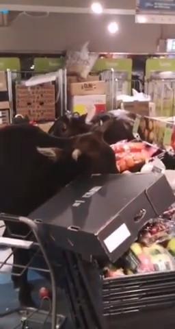 3隻霸王小牛把「超市當吃到飽」猛嗑高級蔬果 客人轉頭開始替牠們擔心:是生鮮區...