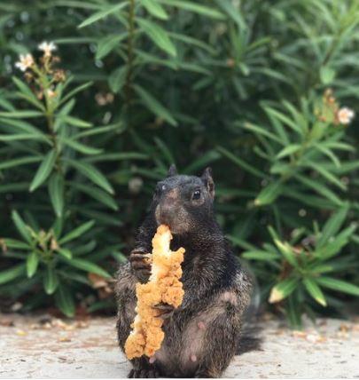 15張「松鼠什麼鬼都吞得下去」的迷你大食怪證據 把我的義大利麵還來!