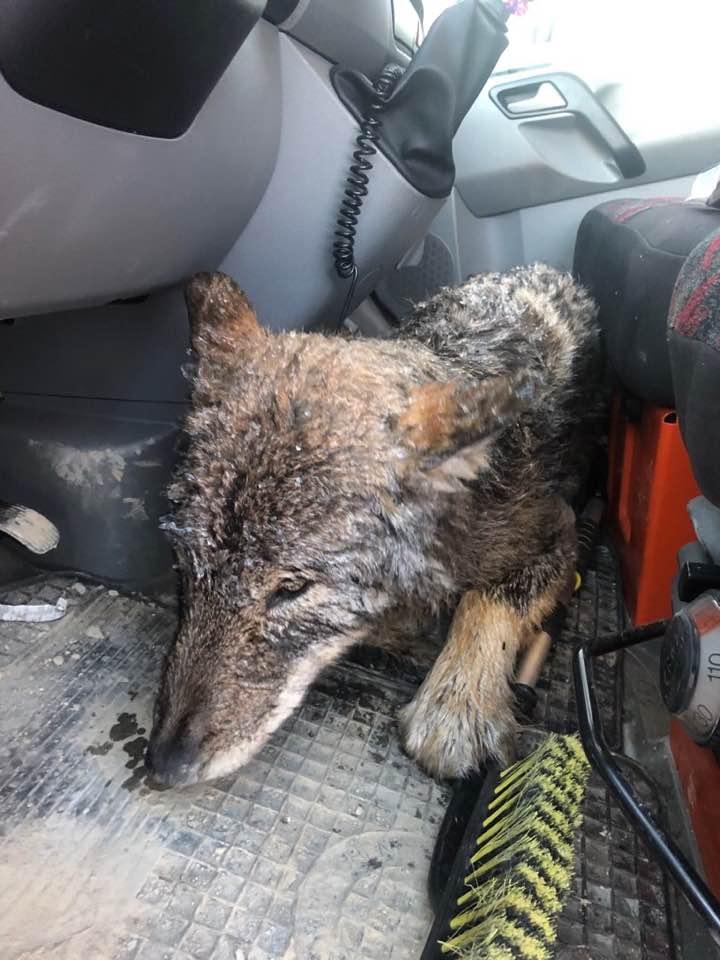 他拯救受困冰中「發抖可憐小狗」還想帶回家養 獸醫看一眼換他開始發抖:這不是狗...