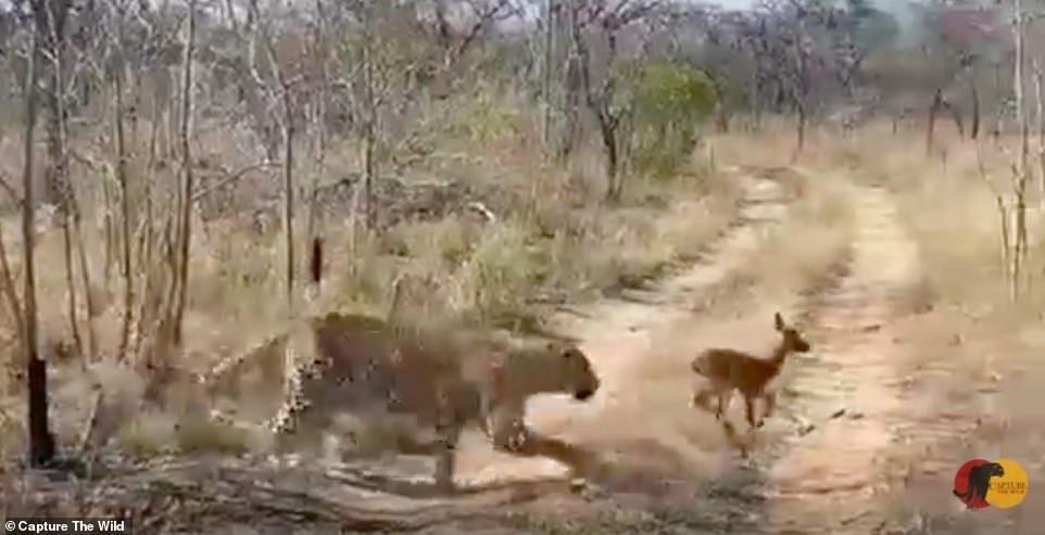 影/以為豹是媽媽!剛出世羚羊寶寶「超親暱狂舔豹」 當發現不對勁時...畫面讓網友都心碎了