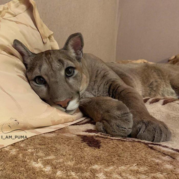 戰鬥民族夫妻從動物園救出小美洲獅 現在牠「被寵壞的樣子」讓網大喊:可惡好想養!