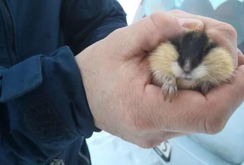 好心男拯救走失小倉鼠 專家一看「怎可能是倉鼠?」:不需要你救