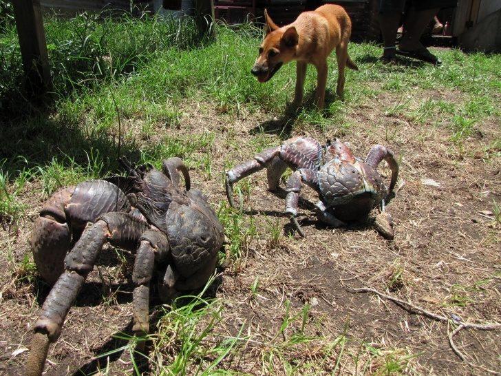 20隻「以為只會在童話故事看到的」超神奇動物 比狗大隻還會爬樹的螃蟹看過嗎?