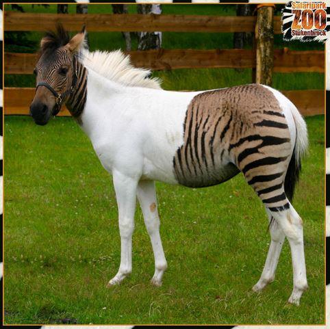 18個上帝創造時「基因配方搞錯了」的怪奇動物 半馬半斑馬就像神獸!