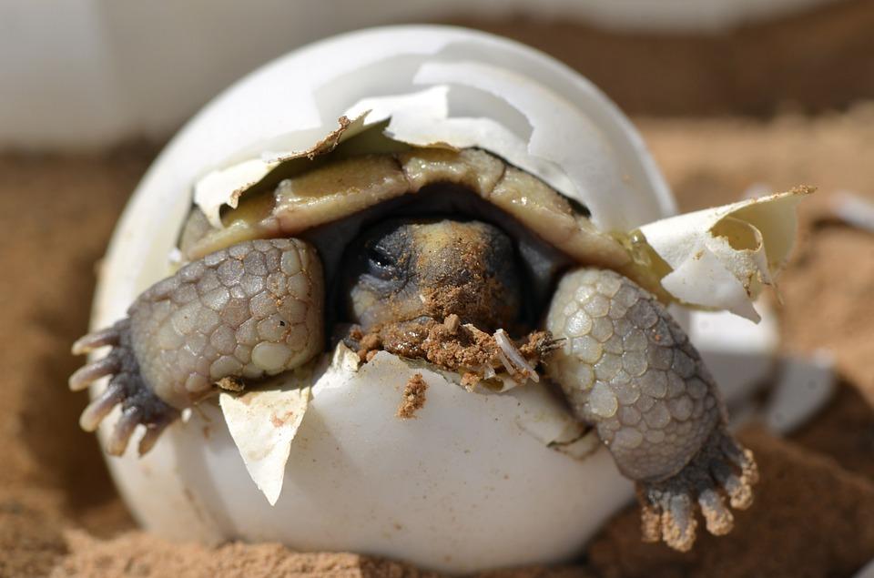 他好奇「烏龜蛋的味道」決定偷走寵物的心血 用平底鍋煎10分鐘後…崩潰了