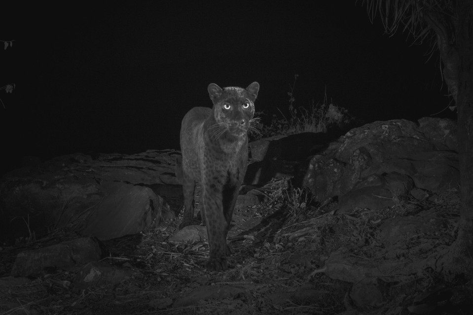 100年來首度捕捉到「稀有珍獸」身影 網友超興奮:比《黑豹》還帥!