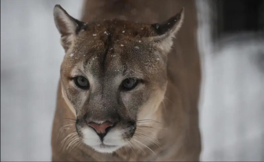 公園慢跑竟被獅子奪命攻擊 他「武松附身」徒手把美洲獅送到天堂