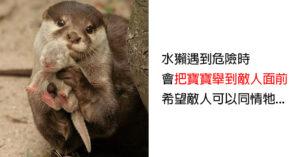 20個讓硬漢「也忍不住少女式尖叫」的超可愛動物本性 灰熊天生就是媽寶!