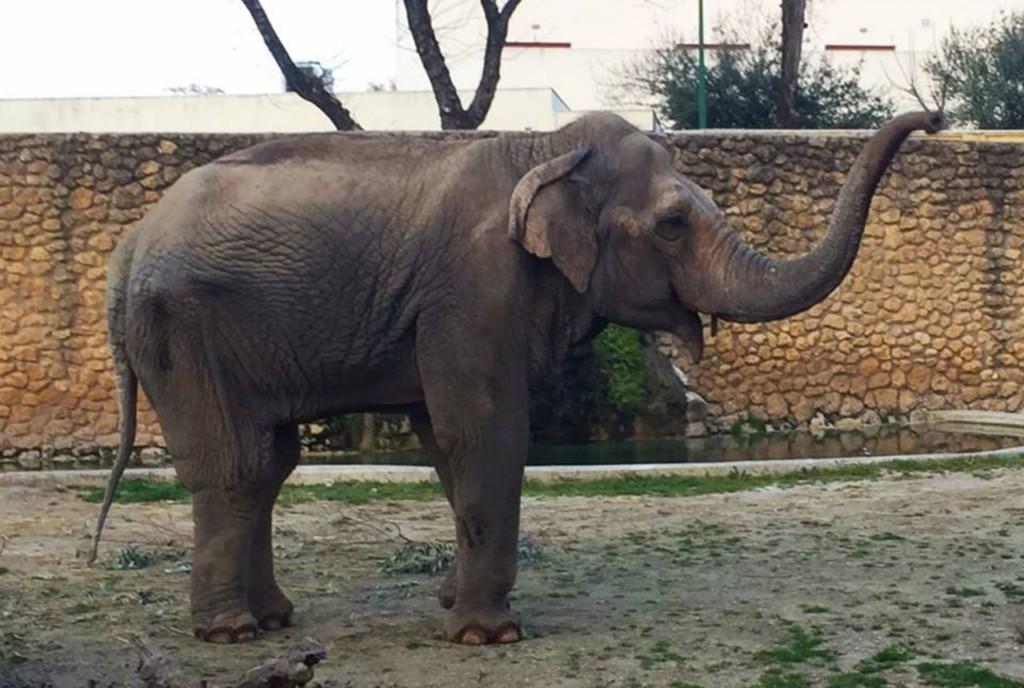 世上最悲傷的大象「3歲起就沒看過同類」 牠「獨活43年」最後還是被人類處理掉...