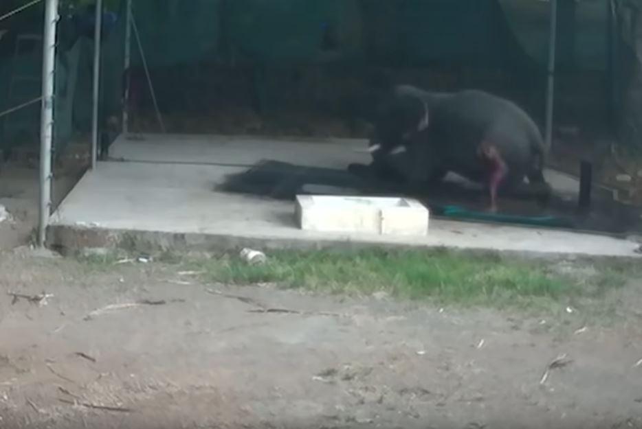 飼育員洗大象卻「把牠當棒球」亂生氣 下一秒現世報...滑倒完「大屁股」直接收走!