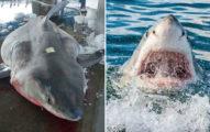 漁民捕撈肚子凸大的大白鯊 一剖開衝浪教練嘆:這有15條生命啊!