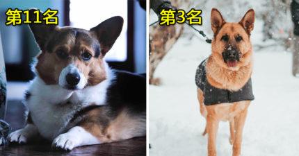 比你的小孩還聽話!專家列世界上最聰明的20種狗狗 貴賓犬只能屈居第二