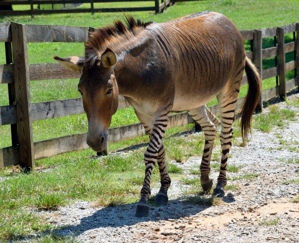 16隻大自然中「最美的混血兒動物」 美洲虎+獅子天生就是「霸氣神獸」!