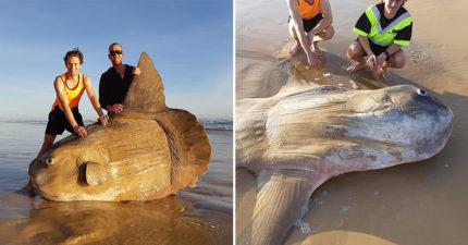 澳洲海灘驚現超巨大生物擱淺「還以為是大木頭」 走進發現是台灣人的最愛!