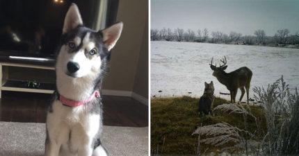 二哈突失蹤狗主人找到快崩潰...最後在監視器「找到私奔身影」傻眼:對象還不是狗?