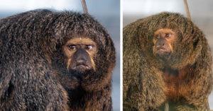 袋鼠輸了!「猴子界巨石強森」嚇壞觀光客 「像球一樣的肌肉」根本可以屌打人類