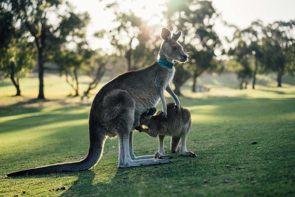 澳洲哥玩滑翔翼「超萌袋鼠兄弟」跳來熱情迎接 開心3秒「發現不對勁」...牠是來定孤支的!