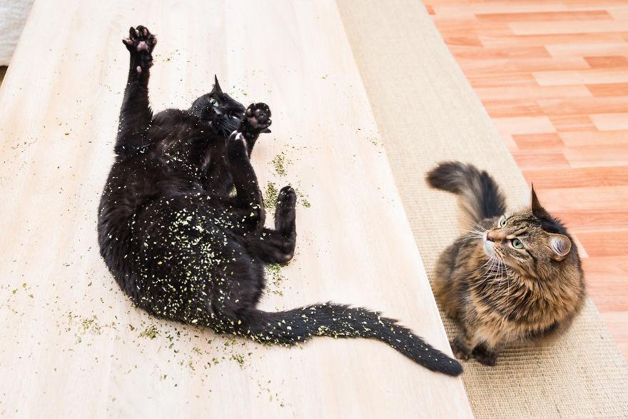 18張「吸草吸到ㄎㄧㄤ掉」的爽貓醜照 高冷形象全崩壞:再給偶一點就好...