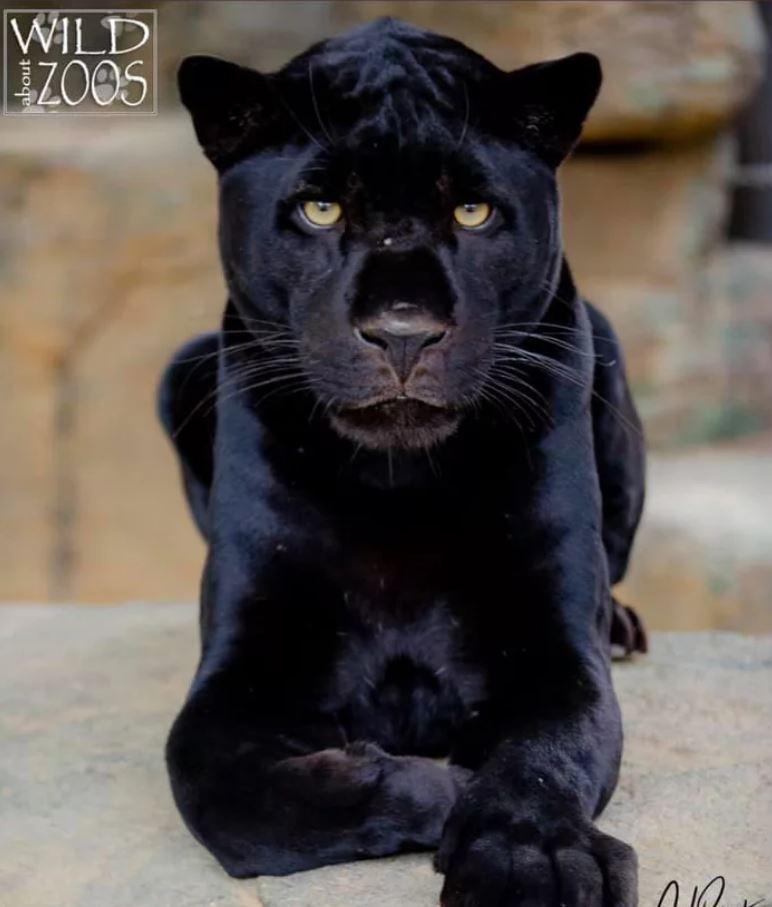 白目女「想和獵豹自拍」翻柵欄闖禁區 母豹下秒就讓她後悔...動物園:柵欄不是裝好看的!