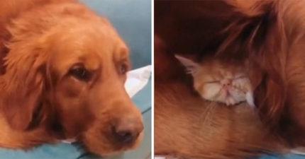 新養的小貓「離奇失蹤」主人快崩潰...直到發現「阿金耳朵怪怪的」掀開找到超溫馨畫面!