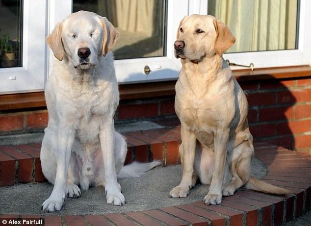 老狗狗「失去光明」從此再也沒辦法笑 直到有天「牠的導盲犬」出現暖翻所有人!