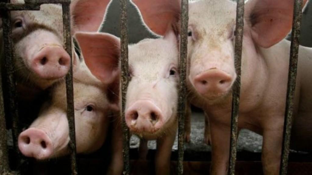 50位動保人士「強抱小豬自拍」提倡吃素 搞定鏡頭「2隻嚇到上天堂」豬農痛哭:他們硬來!