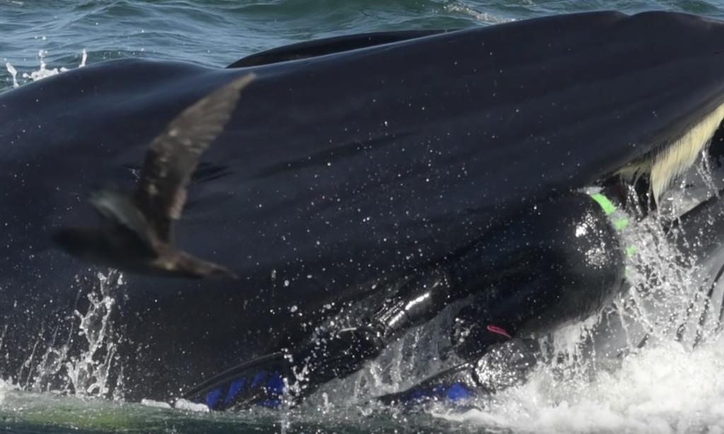 鯨魚猛浮出水面「瞬間含住攝影師」 眾人嚇傻「3秒後噴笑」:又開玩笑!