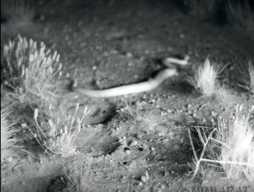 影/響尾蛇偷襲肥鼠準備當晚餐...下秒牠忍者上身「超猛迴旋踢」直接K.O!