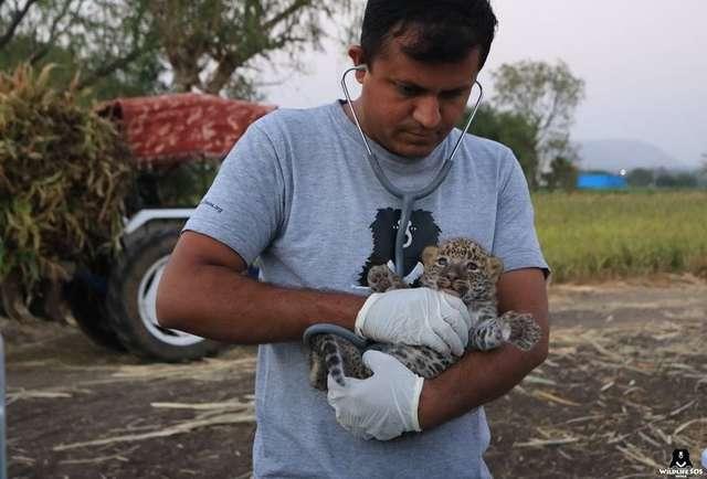 農夫把「走失的小奶豹」放在塑膠箱裡埋伏 晚上「母豹發現箱子」的反應真的太感動了!