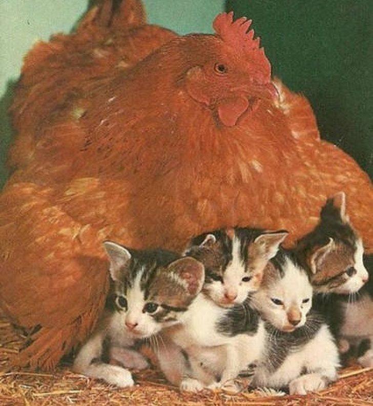 15張母雞「不小心母愛太氾濫」的爆笑照片 把「豬公當雞蛋孵」畫面超詭異!
