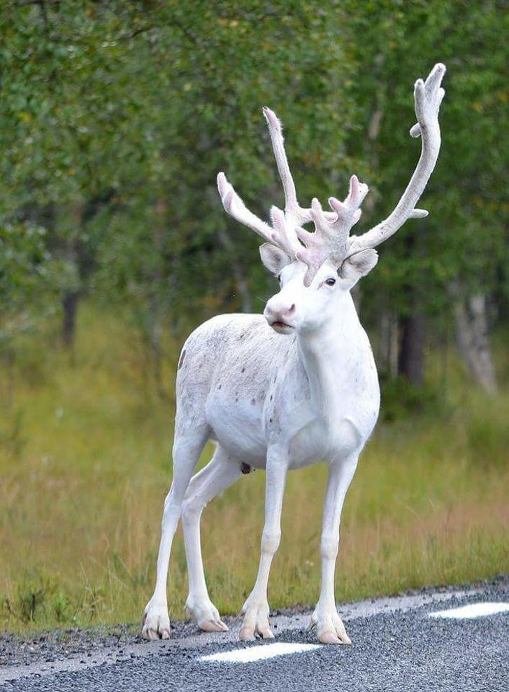 25隻「有著天使白外表」的稀有動物 《哈利波特》的護法白鹿真的存在!