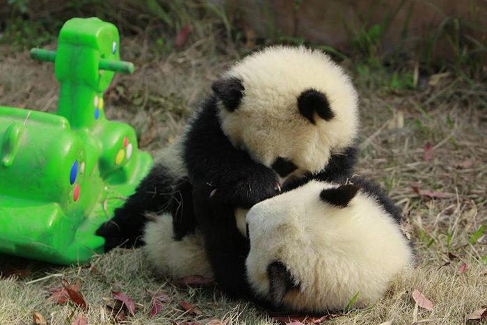 地球上最可愛「熊貓日托中心」日常照曝光!熊貓寶寶版本「羊毛氈疊疊樂」讓你內心萌到中箭❤