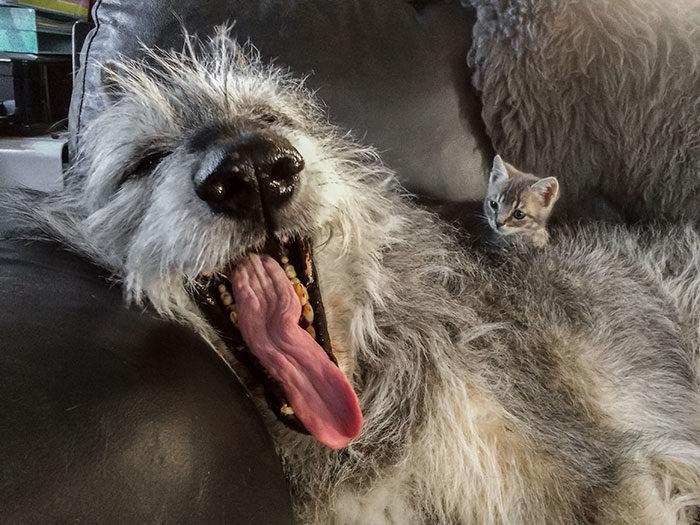 外表只是假像!30張「內心可愛溫柔到讓人融化」的反差萌獵狼犬照