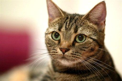 虎斑貓「啊一聲就消失」讓愛媽心碎 通靈友見「灰色小影子陪5年」她痛哭:放心去投胎吧!