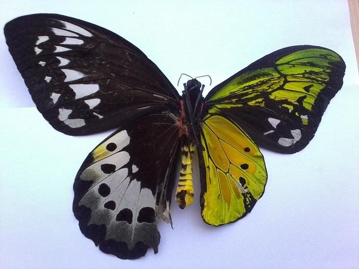 18個證明「世界早已突破你的想像」的驚奇事物 雌雄同體的蝴蝶太夢幻!