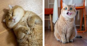 超可愛「月餅臉貓」萌暈百萬粉絲 奴才公布「牠5年前的照片」無奈:至少大2倍!