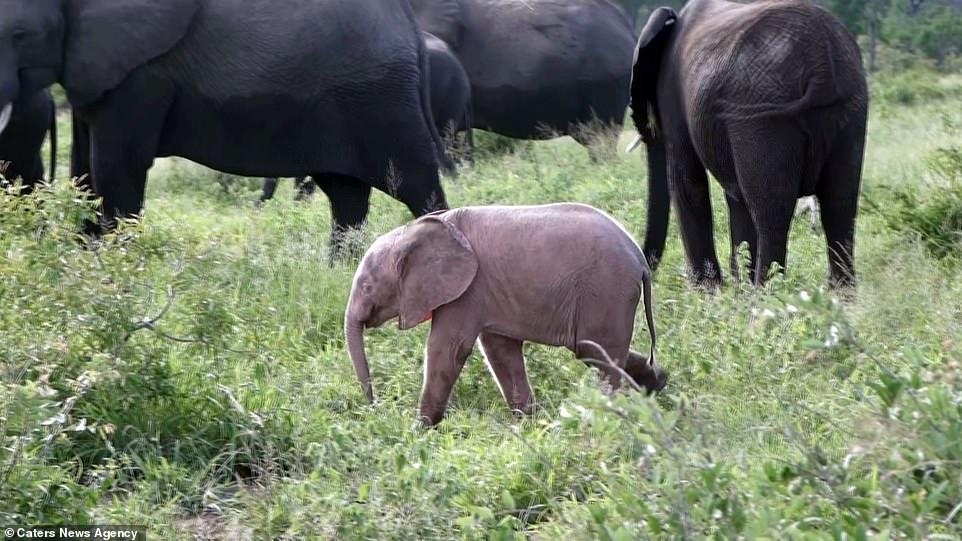 南非出現超稀有「粉紅色小象」 管理員公布「可愛外表的缺點」:害牠處境很危險...