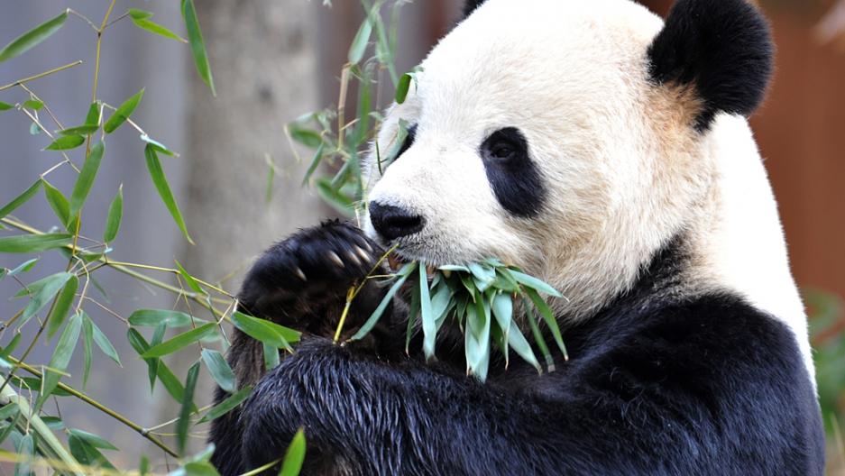 高雄準備收「2隻貓熊」中國伴手禮 「1年7000萬照顧費」曝光他感嘆:大家都忘了石虎?