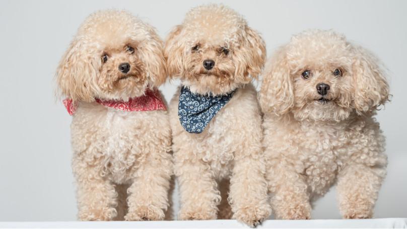 太害怕愛犬離開!狗癡媽砸百萬「複製出3隻一樣的」 挨轟「沒道德」她反擊:6年再一隻!