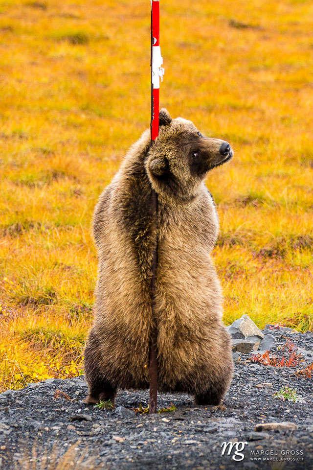 2隻灰熊被目擊在桿子邊「開始磨蹭」大跳鋼管舞 網友:回眸太性感了!