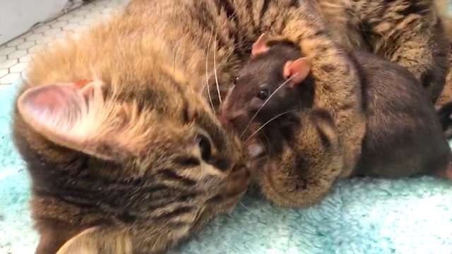 她救了4隻小老鼠回家 某天卻發現其中一隻「在貓皇的籠子裡」…網友嚇壞:牠很勇敢!