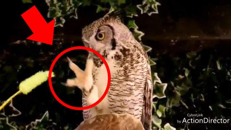 網友拿逗貓棒在貓頭鷹面前晃 牠們發現不對勁時「真面目」已經暴露了