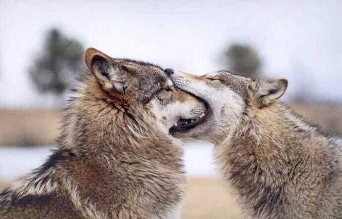 喜歡到想把愛人吃下去?狼會用「一口吞」表達愛意 看到人類「整個頭消失」忍不住噴笑!