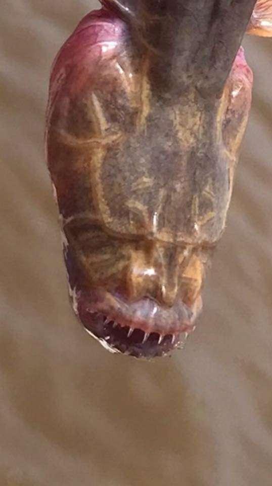 她釣魚意外抓到「玻璃外星魚」 近看「沒眼睛沒牙齒」網友崩潰:地球被入侵!