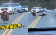 開車遇到火雞集體過馬路 巨大身影「超紳士幫火雞妹擋車」連駕駛也被迷倒:火雞界大仁哥!
