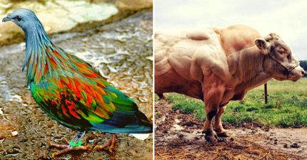 20隻跟「獨角獸一樣稀奇」的超稀有動物 比巨石強森還壯的牛!