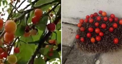 警察局的櫻桃樹「果實莫名消失」 回頭逮到「超萌大盜」秒融化