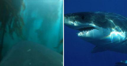 科學家把攝影機「裝在大白鯊身上」看海底 游過「巨大海藻森林」意外解開多年秘密!