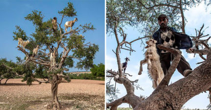 摩洛哥知名觀光景點被爆「全是騙局」 貪心農民「逼山羊爬上樹」太累直接被消失!