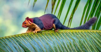 印度超獵奇「巨型彩虹松鼠」轟動全球!身長近1公尺嚇歪網友:不可愛了QQ